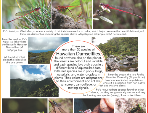 Meglagrion DamselFlies